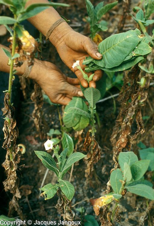Slash-and-burn agriculture by Indians of Guiana Highlands of Venezuela: man harvesting tobacco leaves.