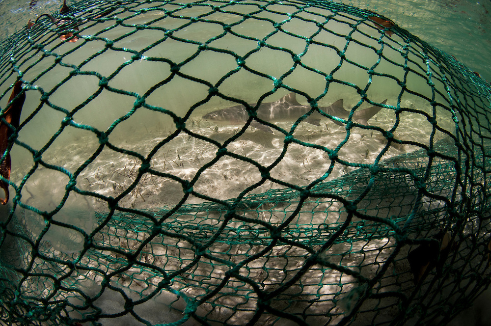 A tiny lemon shark pup is enclosed in a seine net. The shark is captured to be studied, tagged and released back into the wild. Lemon sharks depend on mangroves for the survival of the first 5-8 years of their lives. Mangroves are disappearing throughout the world and the fate of the lemon shark is left in the balance. We need to get proper protections for the world's mangroves and then enforce them.