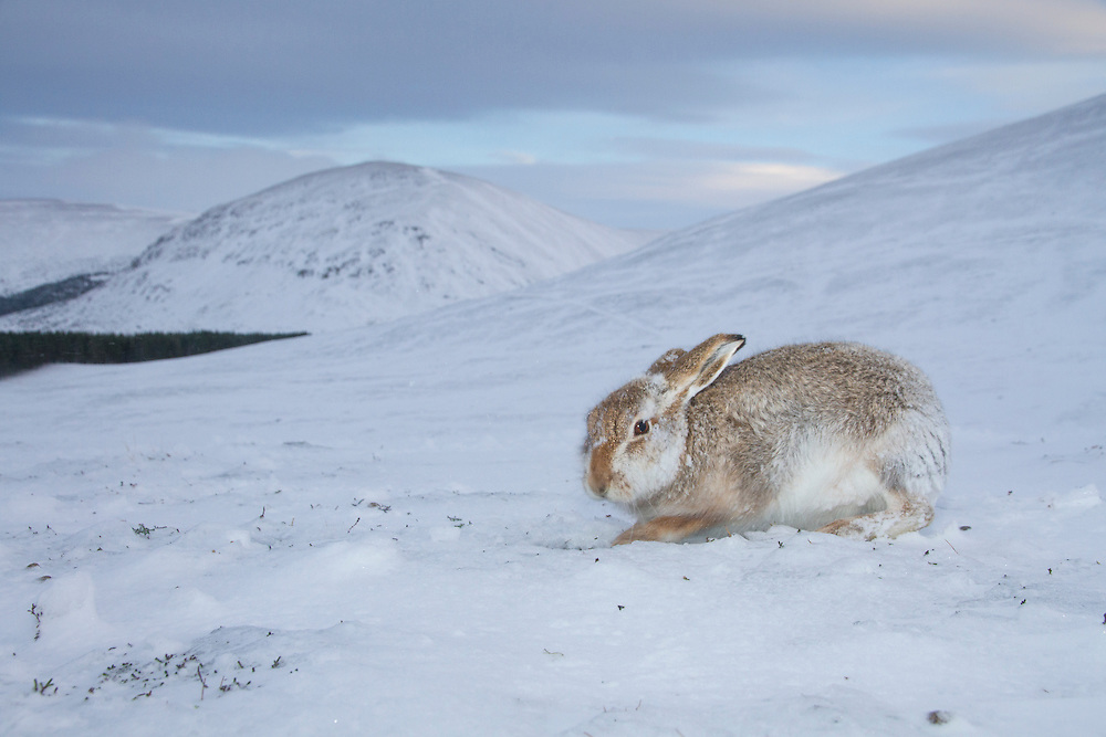 A mountain hare (Lepus timidus) digs in the snow to feed on the vegetation beneath.  Cairngorms National Park, Scotland.