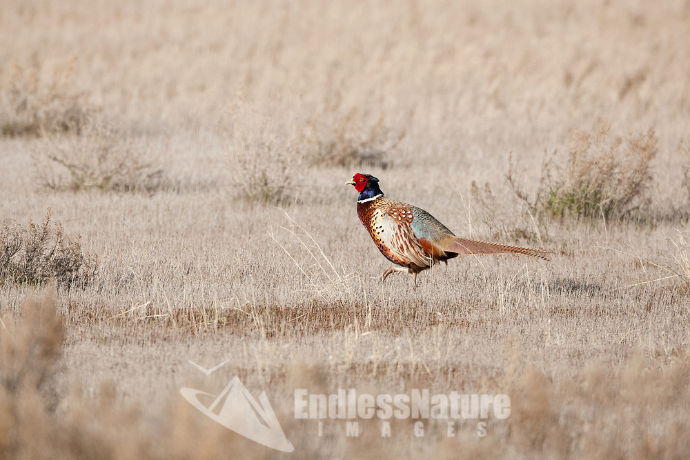 A Ring Necked Pheasant crosses a field in the short grass with its bright red face patches it is mating season in northern Utah.