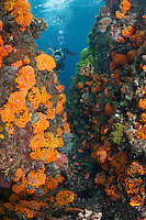 Swarms of schooling Anthias and orange Cup Corals, Diver...Shot in Indonesia