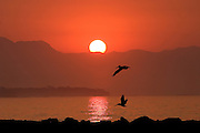Pelicans at Sunrise<br />