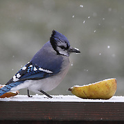 Blue Jay, Cyanocitta cristata, ready to eat a pear in the snow. New Jersey, USA