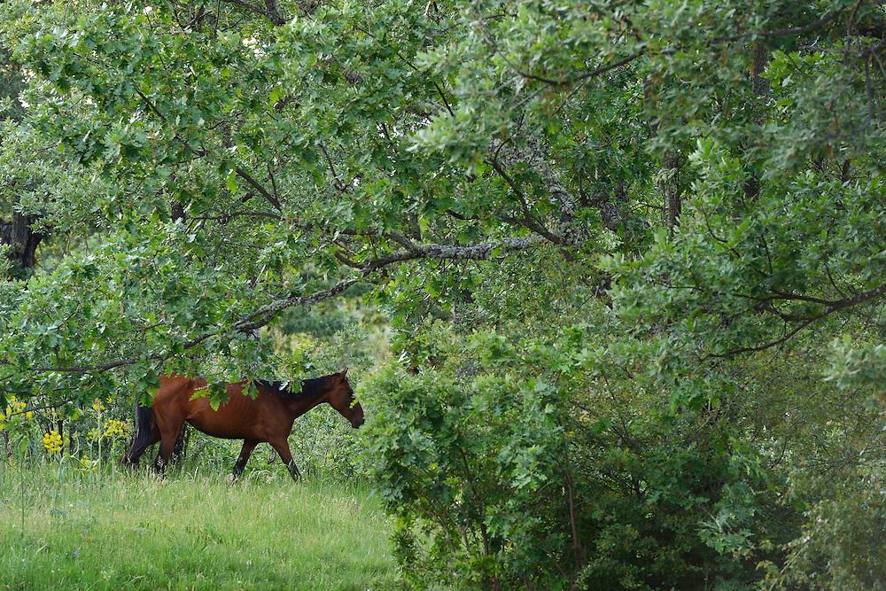 Wild horses, Retuertas horses living wild in the CAMPANARIOS DE AZÁBA RESERVE, SALAMANCA PROVINCE, CASTILLA Y LEÓN, SPAIN, in the Western Iberia rewilding area