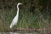Great Egret (Ardea alba) on the shore of the Kazinga Channel, Uganda.