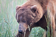 A brown bear ambles though the sedge grass meadows in Lake Clark National Park.