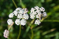 Honey bee on yarrow in the Mt Jefferson Wilderness Area