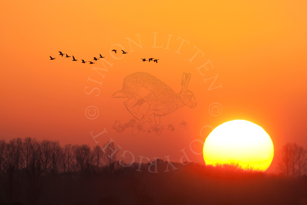 Greylag Geese (Anser anser) flying at dusk, Norfolk Broads N.P. UK