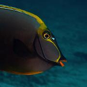Orangespine Unicornfish Naso lituratus at Lembeh Straits, Indonesia.