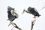 Stock Photo of Great Blue Heron.  Great blue herons feed on fish, amphibians and small mammals.