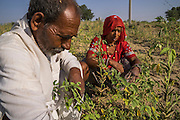 Guar farmers Pemaram Jangu, 70, and his wife Jhuma Jangu, 65, inspect the health of their crop in their field in Hameira village, Bikaner, Rajasthan, India on October 23, 2016. Non-Profit Organisation Technoserve works with Guar farmers in Bikaner to provide technical farming knowledge to them, improving their crop yield through good agricultural practices. Photograph by Suzanne Lee for Technoserve