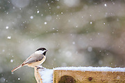 Black caped chickadee looking for food on a snowy Outer Banks afternoon.