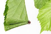 [captive] Hazel Leaf-roller Weevil (Apoderus coryli) Westensee, Germany (sequence 4/9) | Das Haselblatt, das das Haselblattroller-Weibchen (Apoderus coryli) für seinen Nachwuchs ausgesucht hat, ist riesig im Vergleich zu ihrer Körpergröße. Dennoch schafft sie es irgendwie, den Überblick über den Ablauf ihrer Arbeiten zu behalten. Sie wird ein bis mehrere Eier in dieser Rolle ablegen, die dann den schlüpfenden Larven als erste Nahrung und Schutz vor Feinden dient.