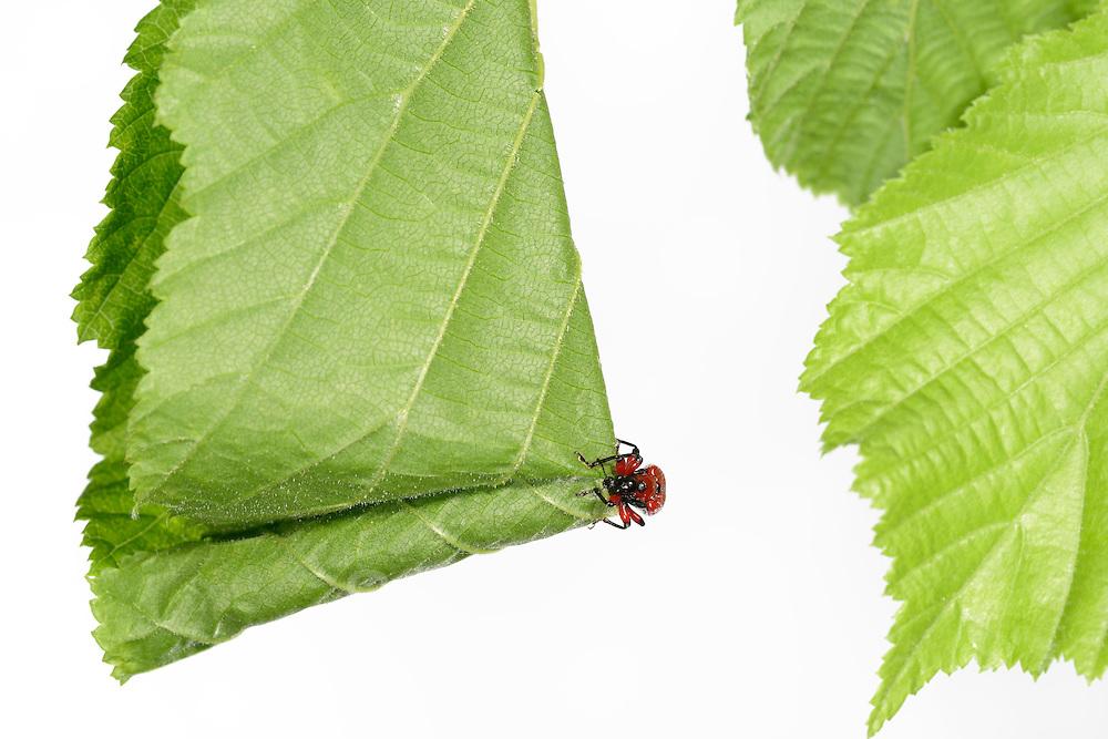 [captive] Hazel Leaf-roller Weevil (Apoderus coryli) Westensee, Germany (sequence 4/9)   Das Haselblatt, das das Haselblattroller-Weibchen (Apoderus coryli) für seinen Nachwuchs ausgesucht hat, ist riesig im Vergleich zu ihrer Körpergröße. Dennoch schafft sie es irgendwie, den Überblick über den Ablauf ihrer Arbeiten zu behalten. Sie wird ein bis mehrere Eier in dieser Rolle ablegen, die dann den schlüpfenden Larven als erste Nahrung und Schutz vor Feinden dient.