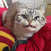 Just call her Cat Dracula! Meet Loki, the ferocious feline whose demonic looks and terrifying teeth <br /> <br /> A cat with a pair of distinctive fangs has quickly become one of the most famous felines on Instagram thanks to evil-looking face. <br /> Loki, who now has more than 23,000 followers online, was adopted from a cat shelter by her owner Kaet, who explained on in a posting that she knows very little about the cat's distinctive appearance.<br /> Adopted from a cat shelter, nothing was mentioned to his owner Kaet about her kitten's unique features.<br /> 'They didn't give me many details about her looks,' she wrote alongside an image of the ferocious feline posted to the social media site. <br /> <br /> Although she has had a few health problems along the way, the Siamese-mix cat appears to be in good hands now – and, of course, the adoration of tens of thousands is undoubtedly doing wonderful things for her confidence.<br /> In many ways, Loki is just like any other cute cat; according to her Instagram account, she loves to hide under bath towels and lay on his back for a good rub.<br /> But when she stares into the lens of a camera, a more terrifying side of the otherwise-adorable feline begins to emerge.<br /> Indeed, some of the pictures Kaet has taken are truly spine-tingling. One shows Loki emerging out of the shadow with her fangs on full display. <br /> ©Exclusivepix Media