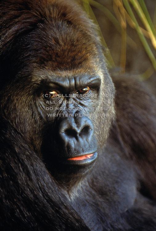 Image of a Silverback Gorilla (gorilla gorilla) face close up