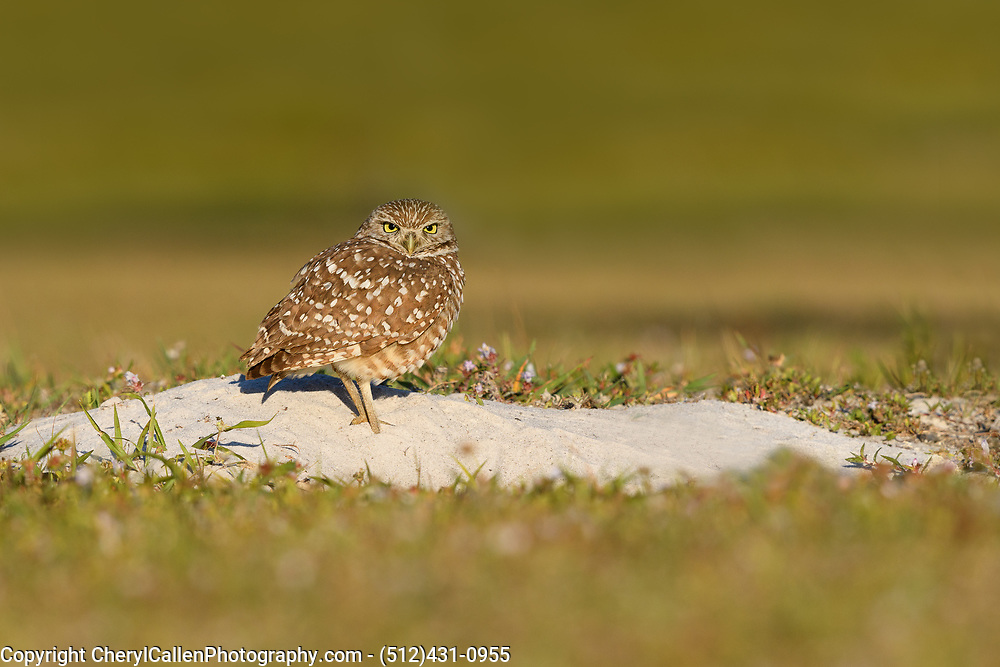 Burrowing Owl guarding his burrow