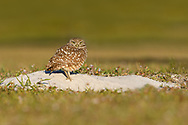 Burrowing Owl guarding his burrow