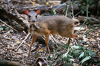 The lesser mouse-deer or kanchil (Tragulus kanchil), also known as the lesser Malay chevrotain, is a species of even-toed ungulate in the family Tragulidae.
