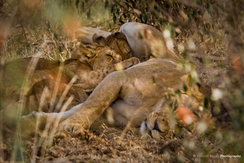 Lion cubs suckling in the shade in the Masai Mara National Park, Kenya