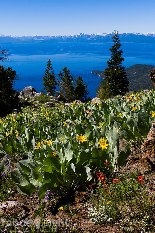 Wildflowers overlooking Lake Tahoe from Rose Knob Peak in Incline Village, Nevada. This is along the Tahoe Rim Trail between Tahoe Meadows and 267.