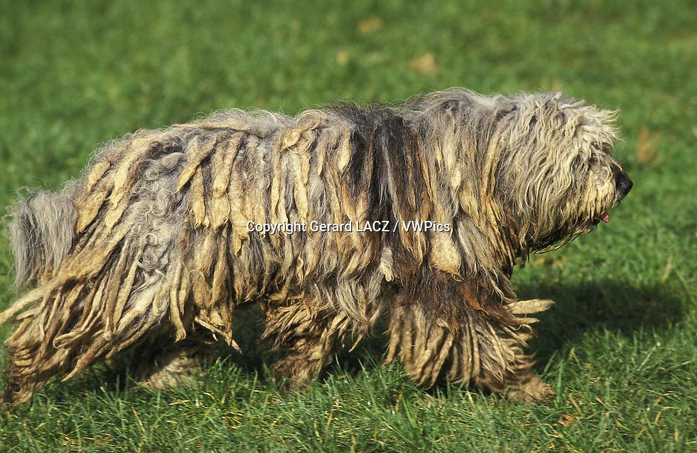 Bergamasco Sheepdog or Bergamese Shepherd , Adult standing on Grass
