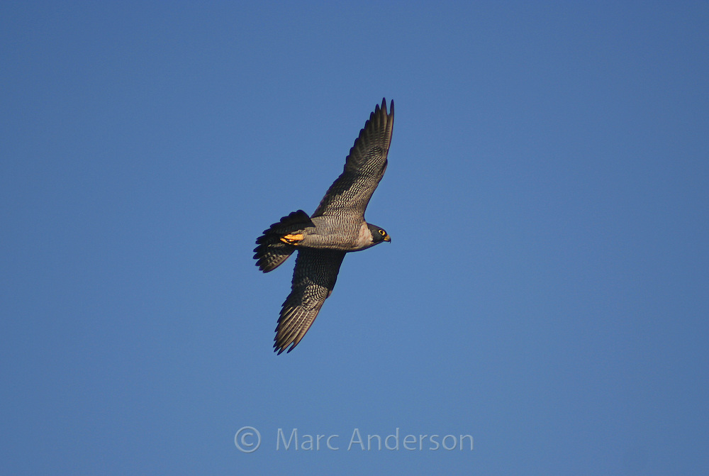 An adult Peregrine Falcon (Falco peregrinus) in flight, Australia