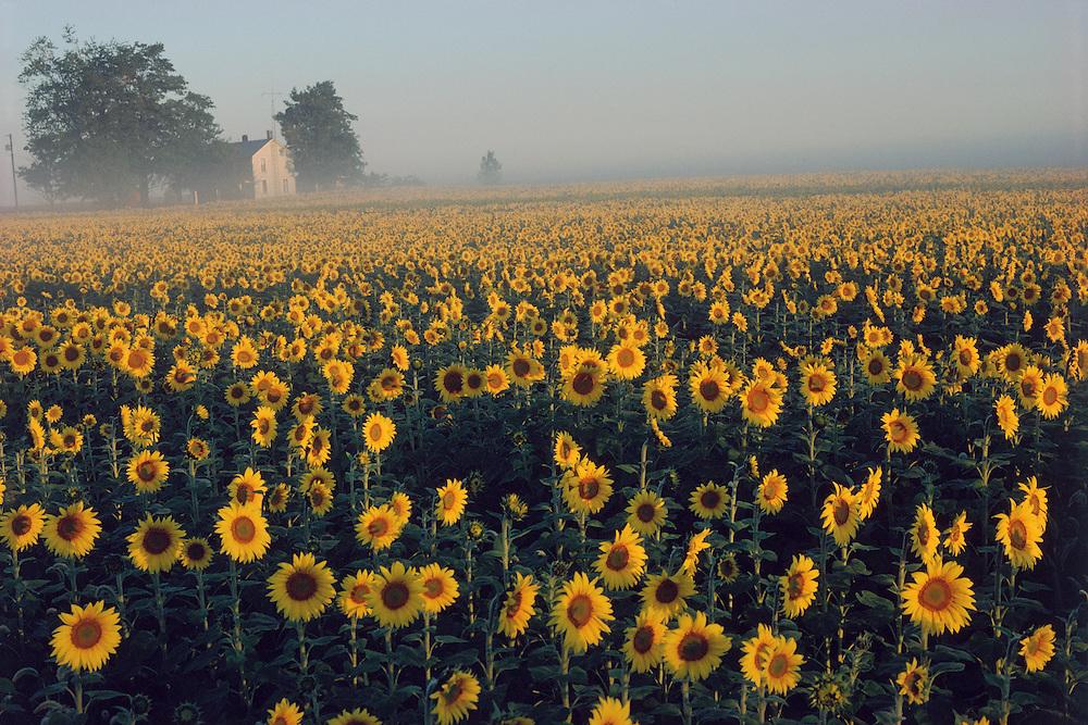 Charleston, Ohio, farm field of sunflowers