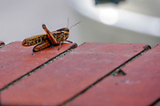 Brown grasshopper on tiles. Photographed in Greece in October