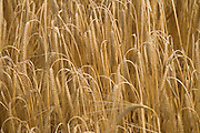 close up of ripe heavy hanging wheat head