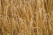 close up of ripe heavy hanging wheat head