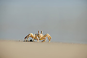 In the late afternoon the ghost crabs, also called sand crabs (Ocypode cursor) emerge from their sand burrows to patrol the beach, franticly running back and forth to avoid the waves and to constantly probe the sand for food with their sensitive pincers. A sea turtle hatchling coming in their way is doomed.