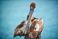 Brown Pelican Preening in Kralendijk Bonaire. Image taken with a Nikon D3s and 70-300 mm VR lens (ISO 200, 240 mm, f/5.6, 1/640 sec).