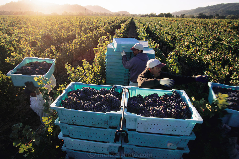 Napa Valley, California. Hand harvesting of cabernet sauvignon that will be made into wine for Opus One winery.