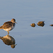 Least Sandpiper (Calidris minutila) in Cape May, New Jersey