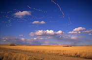 Snow geese flying over wheat fields in the Freezeout Lake Wildlife Management Area. Near Fairfield, Montana.