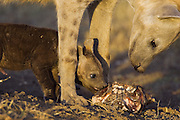 Spotted Hyena<br /> Crocuta crocuta<br /> Mother and 8-10 week old cub chewing on wildebeest skull that was brought back to communal den<br /> Masai Mara Conservancy, Kenya