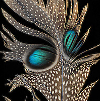 Rotschild Peacock Pheasant