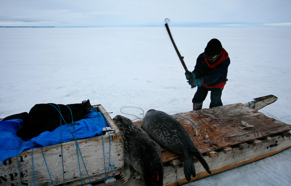 Sasa Samson, 37, kills a seal using his gaff, a hooked stick, in Resolute Bay, Canada on Tuesday, June 12, 2007. Sasa, who is the best hunter in his town, hunts seals for food, and his community uses every part of the seals, either eating the meat or using the hides to make warm clothes. The traditional way of life in the Resolute Bay Inuit community is being threatened by rising temperatures. The dangers of global warming, which have been extensively documented by scientists, are appearing first, with rapid, drastic effects, in the Arctic regions where Inuit people make their home. Inuit communities, such as those living on Resolute Bay, have witnessed a wide variety of changes in their environment. The ice is melting sooner, depleting the seal population and leaving them unable to hunt the animals for as long. Other changes include seeing species of birds and insects (such as cockroaches and mosquitoes) which they have never encountered before. The Inuit actually lack words in their local languages to describe the creatures they have begun to see.