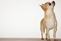 Chihuahua standing looking up front view