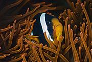 Clark's Anemonefish, Amphiprion clarkii, in the host-sea anemone Entacmaea quadricolor.