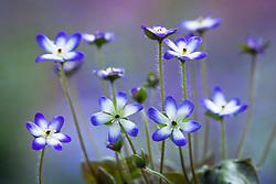 Hepatica pubescens Blue