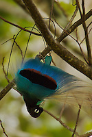 Blue Bird of Paradise (Paradisaea rudolphi) male performing a practice courtship display.