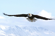 Bald Eagle, Haliaeetus leucocephalus, flying, Kenai Peninsula, Homer Spit, Homer, Alaska. Digital originall, #2006_0329 ©Robin Brandt