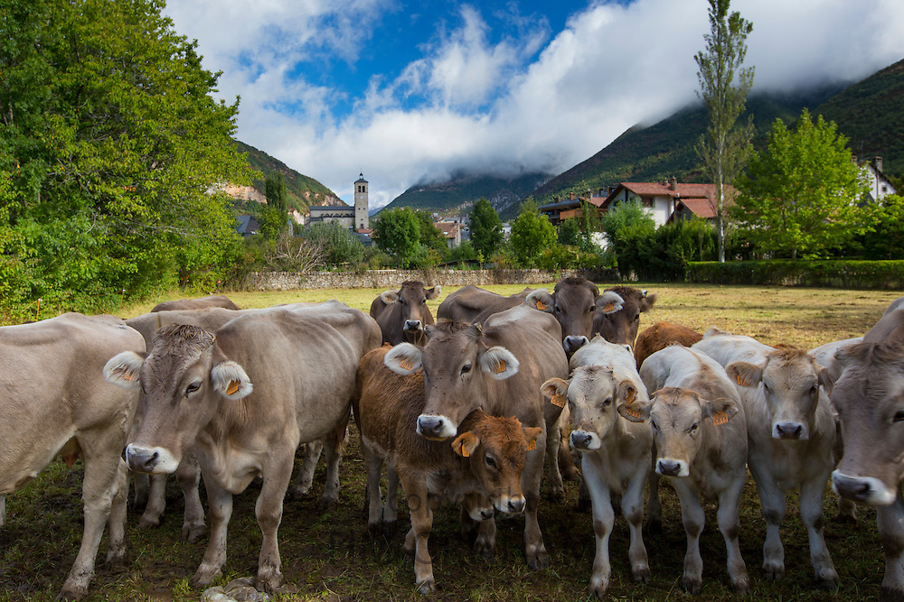 Herd of cattle in town of Biescas in Valle de Tena, Aragon, Northern Spain.