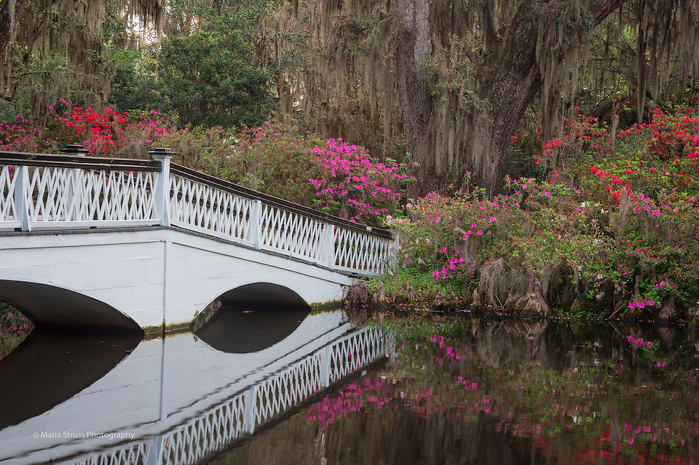A white wooden bridge at Magnolia Gardens leads visitors to a beautiful azalea lined path.