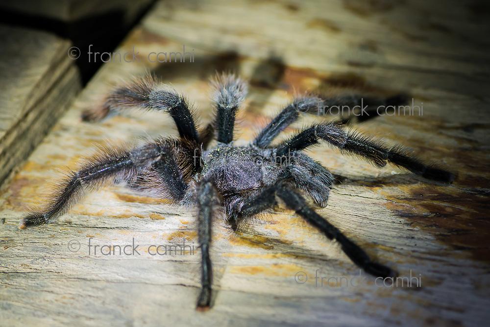 black tarantula in the peruvian Amazon jungle at Madre de Dios Peru