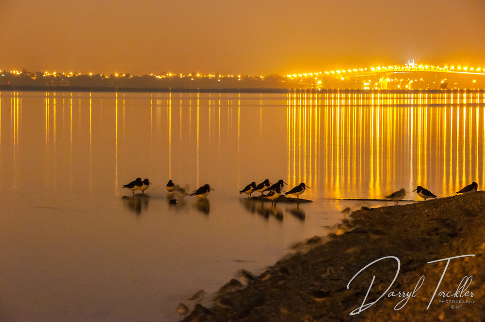 Oyster catchers & dotterels roosting at night under the glow of Auckland city lights. Pollen Island.
