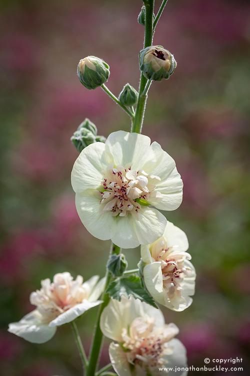 × Alcalthaea suffrutescens 'Parkallee'. Hollyhock.