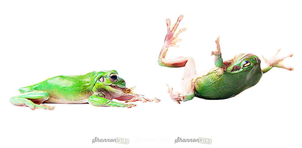 Two Australian Green Tree Frogs fighting over a cricket.<br /> <br /> The Australian green tree frog, simply green tree frog in Australia, White's tree frog, or dumpy tree frog (Litoria caerulea) is a species of tree frog native to Australia and New Guinea.<br /> <br /> The green tree frog is larger than most Australian frogs, reaching 10 cm (4 in) in length. The average lifespan of the frog in captivity, about 16 years, is long in comparison with most frogs.<br /> <br /> Green tree frogs are docile and well suited to living near human dwellings. They are often found on windows or inside houses, eating insects drawn by the light.<br /> <br /> The green tree frog screams when it is in danger to scare off its foe, and squeaks when it is touched.